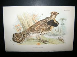 Allen 1890's Antique Bird Print. Ruffed Grouse